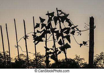 silhouette climber small plants in backyard home garden