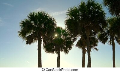 Silhouette coconut palm trees on beach at sunset. Tops of...