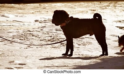 silhouette fighting dog dangerous dog tied to a tree leash....