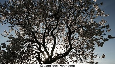 Silhouette Flowering Tree With Nest. - Looking up at Bird...
