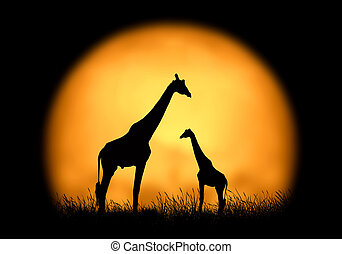 Silhouette giraffe on the background of sunset