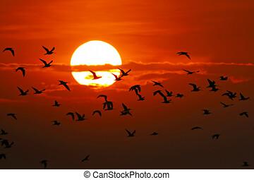 silhouette, goud, hemel, numenius, vliegen, wulp, arquata, europees-aziatisch, ondergaande zon , vogels