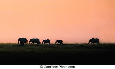 silhouette, marche, coucher soleil, éléphants