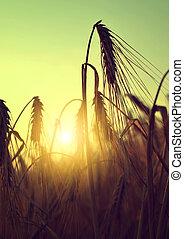 silhouette of a barley field