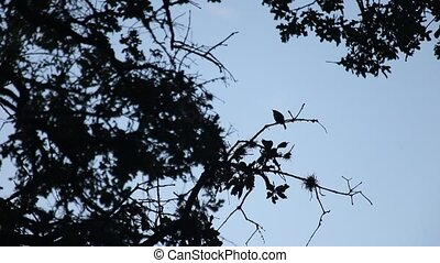 Silhouette of a bird singing in earlier morning. - This is a...