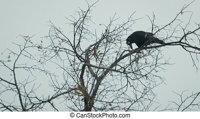 Silhouette of a black crow on a bare, winter tree