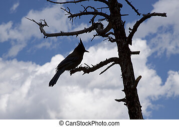 Silhouette of a Blue Jay in a Tree