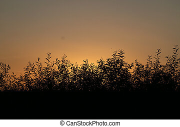 silhouette of a branch of willow leaves against the background of an orange sunset