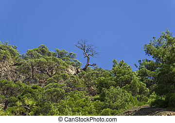 Silhouette of a dry pine against a blue cloudless sky.