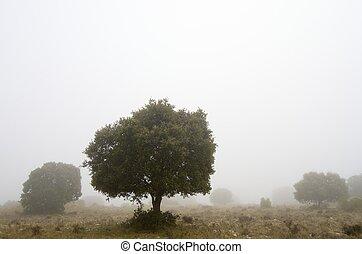 oak - silhouette of a lone oak, quercus ilex, El Buste,...