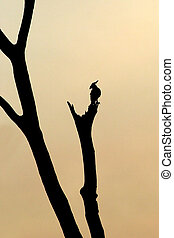 Silhouette of a Long-crested Eagle on a tree