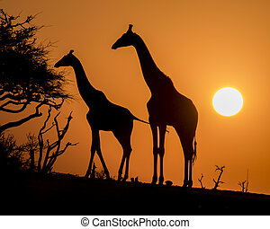 Silhouette of a Mother and Calf Giraffes at Sunset in Botswana, Africa