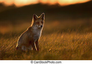 Silhouette of a Red fox at sunset