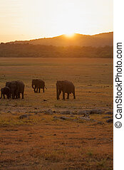 Silhouette of Asian elephants grazing during sunset