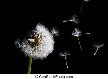 silhouette of dandelion in the wind on black background