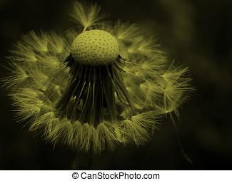 silhouette of dandelion in the wind