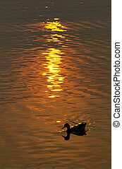 Silhouette of duck on pond with sunset