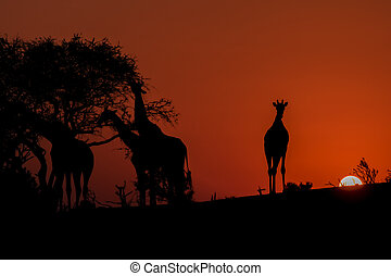 Silhouette of Four Giraffes at Sunset in Botswana, Africa