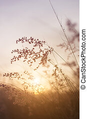 Silhouette of grass flower on sunset background.