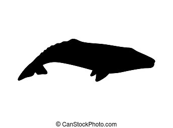 Silhouette of gray whale. Vector illustration isolated on white background.