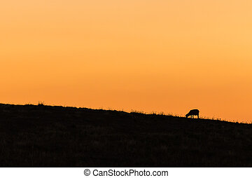 silhouette of grazing sheep