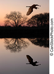 Silhouette of Great Blue Heron Flying over Riparian Reflection, San Jaoquin Delta, California