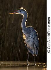 Silhouette of Grey heron hunting at night