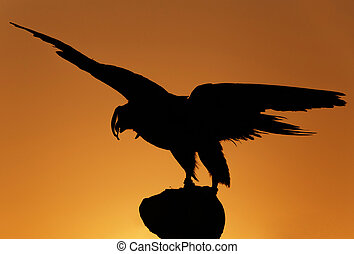 hunting falcon over sunset