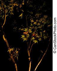 Japanese Maple Tree - Silhouette of Japanese Maple Tree...