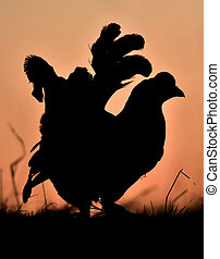 Silhouette of Lekking Black Grouse ( Lyrurus tetrix) against the dawn sky.