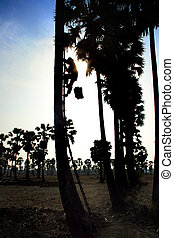silhouette of man collecting nectar of sugar palm tree