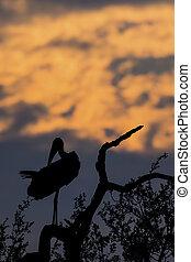 Silhouette of marabou stork on dead tree at sunset