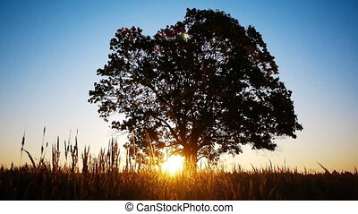 Silhouette of old maple  against  autumnal sunrise