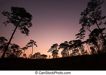 silhouette of pine tree at sunset