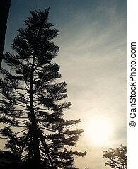 Silhouette of Pine tree during sunset