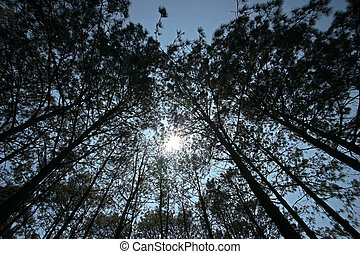 silhouette of pine tree forest