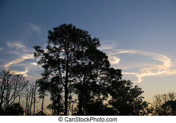 silhouette of pine trees