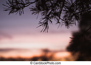 Silhouette of spruce branches against the sky,