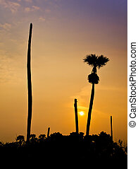 Silhouette of Sugar palm on sunset