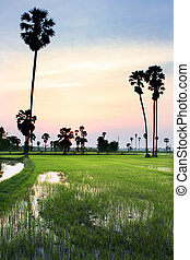 silhouette of sugar palm tree on rice field