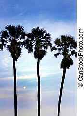 silhouette of sugar palm tree