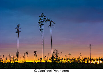 Silhouette of tall pine trees against the sunset sky.