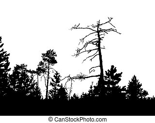 silhouette of the old pine on white background