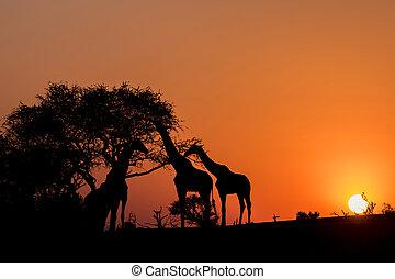 Silhouette of Three Giraffes at Sunset in Botswana, Africa