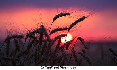 Silhouette of wheat ears against sunset, timelapse