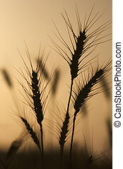 Silhouette of Wheat Field