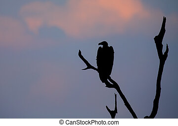 Silhouette of White backed vulture sitting in dead tree at sunset