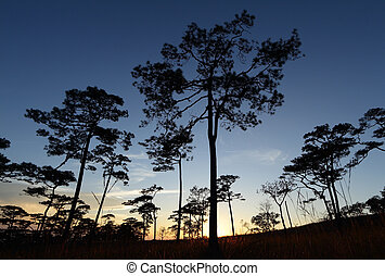 Silhouette pine forest at sunset