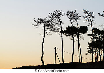 silhouette pine trees
