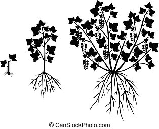 Silhouette saplings of currants of different ages - Vector...